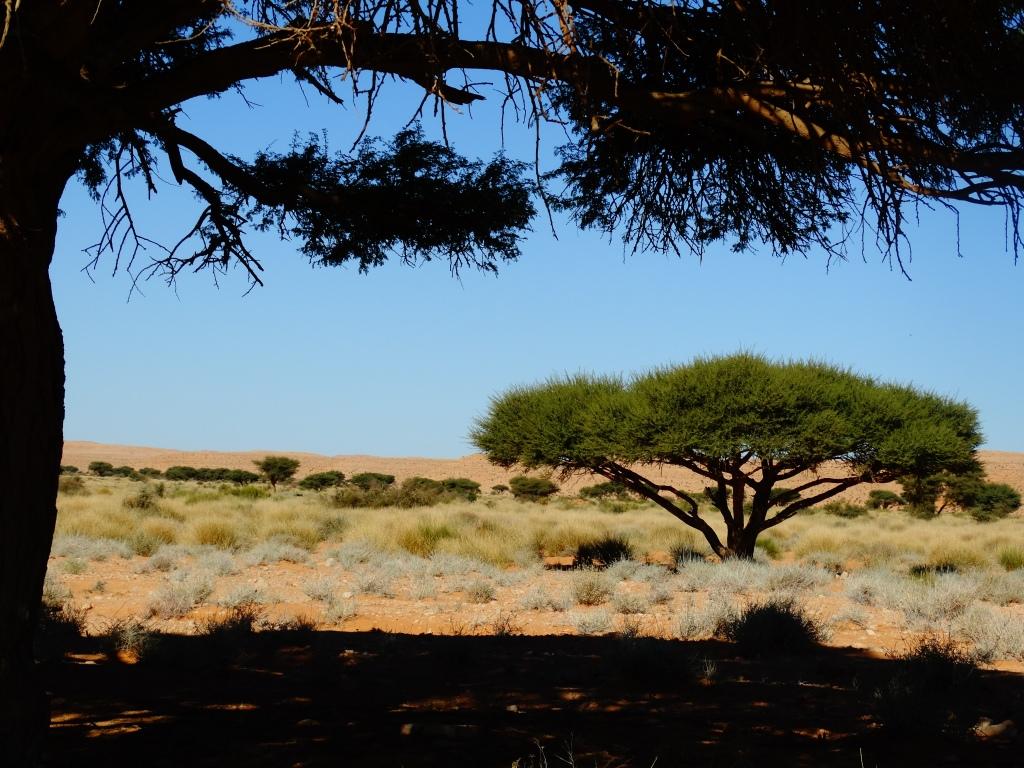 شجرة الطلح بمنطقة الوديان الليبية في خطر Bashir Alshria